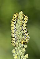 Striped Lychnis - Shargacucullia lychnitis