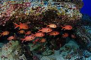 Bigscale Soldierfish, Myripristis berndti, Molokini Crater, Hawaii