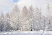 Young forest stand of birch trees (Betula sp.) on white winter day, Vidzeme, Latvia Ⓒ Davis Ulands | davisulands.com