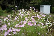 Cosmos flower in bloom in a plot near Narita Airport, Japan.
