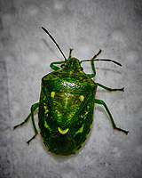 Green Stink Bug Image taken with a Fuji X-T3 camera and 80 mm f/2.8 macro lens (ISO 200, 80 mm, f/8, 1/60 sec)