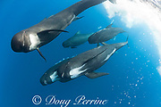 long-finned pilot whales, Globicephala melas, baring teeth and blowing bubbles at photographer ( a sign of aggression ), Straits of Gibraltar ( North Atlantic )