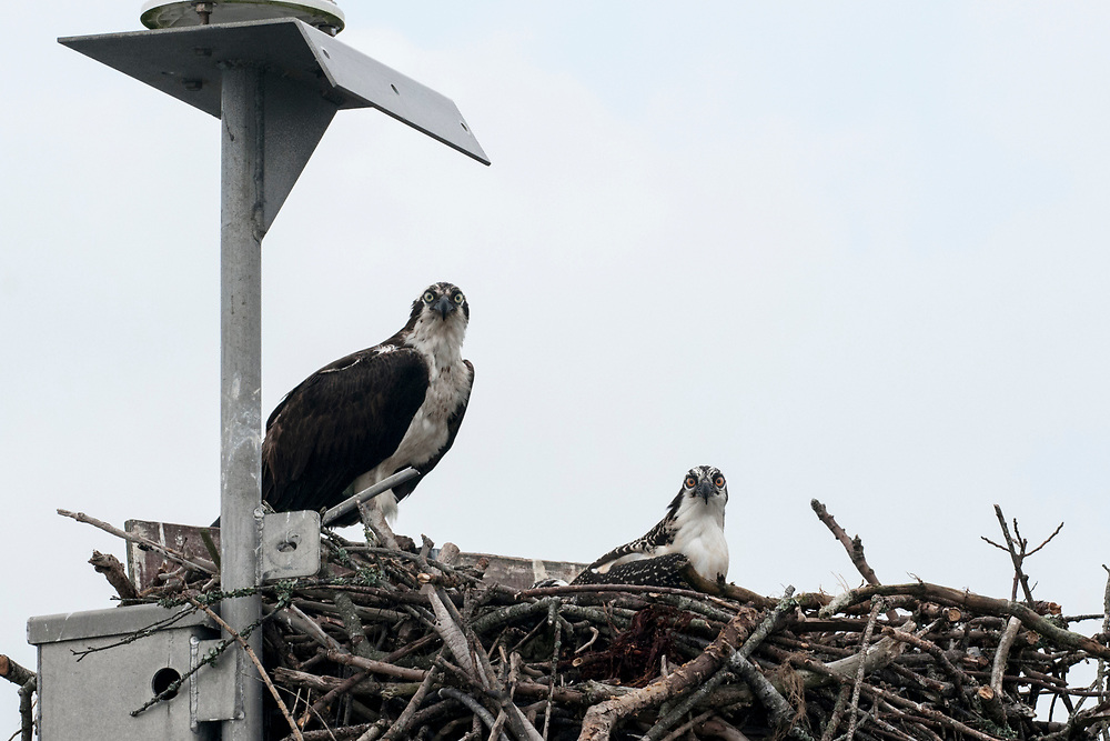 An osprey and her young on a channel marker during Daisey's Island Cruises two-hour tour of Chincoteague, Assateague, and Wallops Islands in Chincoteague Island, VA on Thursday, July 28, 2016. Copyright 2016 Jason Barnette