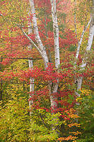 Red maple and white birch, Groton State Forest, Vermont