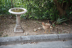 Free Range Chickens, Marie's House