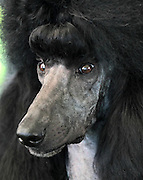 Pearl, a black standard poodle from Richmond, won best in show during the Charlottesville-Albemarle Kennel Club Dog Show Saturday at Foxfield in Charlottesville, VA. A separate dog show continues on Sunday with a special police dog demonstration at 1 p.m. Photo/Andrew Shurtleff