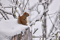 Red Squirrel  (Tamiasciurus hudsonicus) in snow, Cherry Hill, Nova Scotia, Canada,