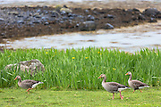 Greylag geese, Anser anser, - Greylags - walking on Isle of Mull in the Inner Hebrides and Western Isles, West Coast of Scotland