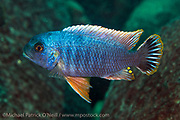 A male Petrotilapia sp. swims near the a rocky reef near Likoma Island, Lake Malawi, Africa.