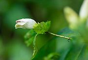 White turtlehead flower, fall blooming native wildflower Mid-Atlantic region