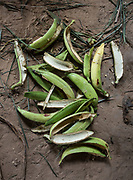 Scraping unripe plantain to boil it and make a soup with it.