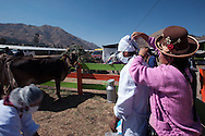 The annual agricultural fair of Sicuani. To  give a demonstration of hygiene these operators put the mask on the face,outdoor and  surrounded by  cows ....