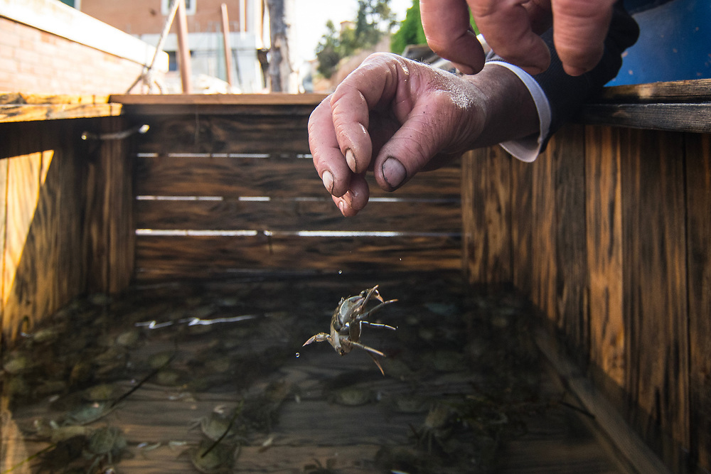 """VENICE, ITALY - APRIL 2018. <br /> Crabs that are not """"ready"""", are placed in wooden boxes, called in the Venetian dialect """"vieri"""", and lowered into the water. In this way the fishermen are able to check the right moment. Normally the control is made early in the morning, and after the round for checking the fishing nets."""