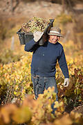 Farmer harvesting grapes and walking with them on vineyard, Elqui Valley, Chile