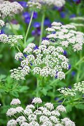 Melanoselinum decipiens. Black parsley