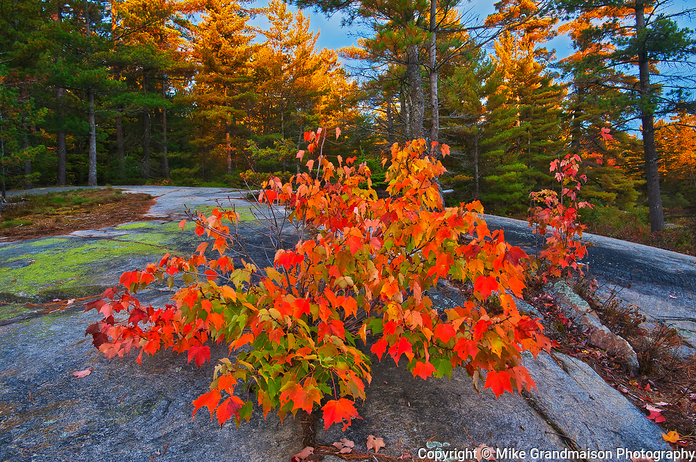 Red maple tree (Acer rubrum) at Grundy Lake<br />Grundy Lake Provincial Park<br />Ontario<br />Canada