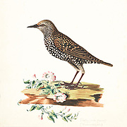 The common starling (Sturnus vulgaris), also known as the European starling or simply the starling, is a medium-sized passerine bird in the starling family, Sturnidae. 18th century watercolor painting by Elizabeth Gwillim. Lady Elizabeth Symonds Gwillim (21 April 1763 – 21 December 1807) was an artist married to Sir Henry Gwillim, Puisne Judge at the Madras high court until 1808. Lady Gwillim painted a series of about 200 watercolours of Indian birds. Produced about 20 years before John James Audubon, her work has been acclaimed for its accuracy and natural postures as they were drawn from observations of the birds in life. She also painted fishes and flowers. McGill University Library and Archives