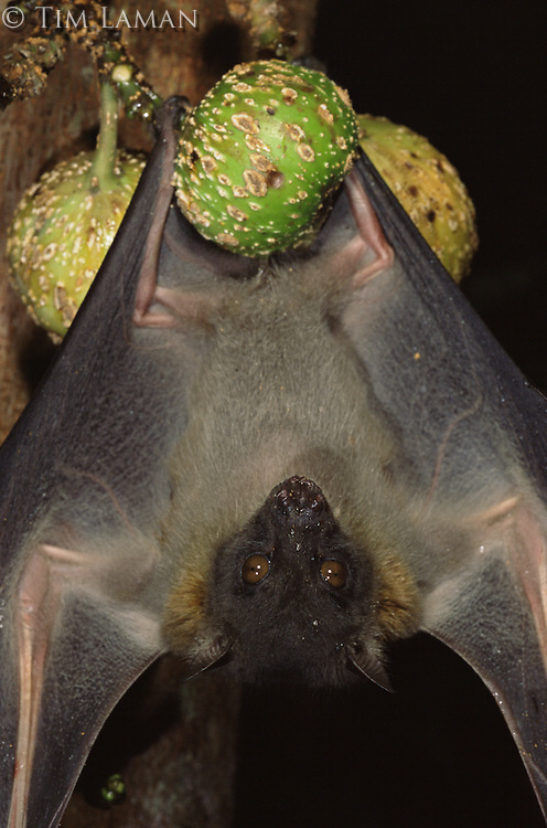Endemic to Philippines, the greater musky fruit bat (Ptenochirus jagori) hangs on a fruiting fig tree.  .Sierra Madre National Park, Luzon, Phillipines.  Sep 01.