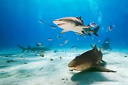 Lemon Sharks, Negaprion brevirostris, with sharksuckers, Echeneis naucrates, Blue Runner jacks, Caranx crysos, and scuba divers, West End, Grand Bahama, Bahamas, Atlantic Ocean.