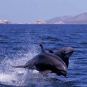 Bottlenose Dolphin, (Tursiops truncatus) Jumping. Sea of Cortez. Baja, Mexico.