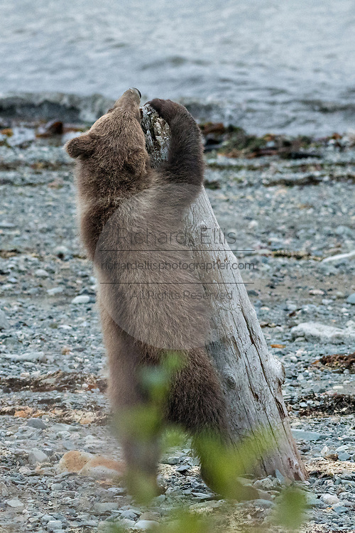 A brown bear spring cub scratches on a piece of driftwood on the beach along the Cook Inlet at the McNeil River State Game Sanctuary on the Kenai Peninsula, Alaska. The remote site is accessed only with a special permit and is the world's largest seasonal population of grizzly bears in their natural environment.