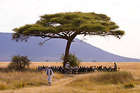 A large group of tourists have breakfast under an acacia tree after a sunrise balloon flight over Serengeti National Park, Tanzania