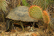 Tail end of a painted turtle and prickly pear cactus in the Great Plains of Montana. American Pairie Reserve region of the C.M. Russell National Wildlife Refuge south of Malta in Phillips County, Montana.