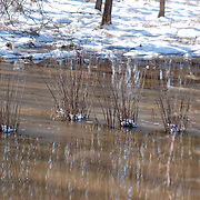 Rushes lie dormant in the icy water on a sunny day