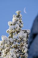 Crescent moon and fresh fallen snow on trees in winter, Dorrington, Calaveras County, California