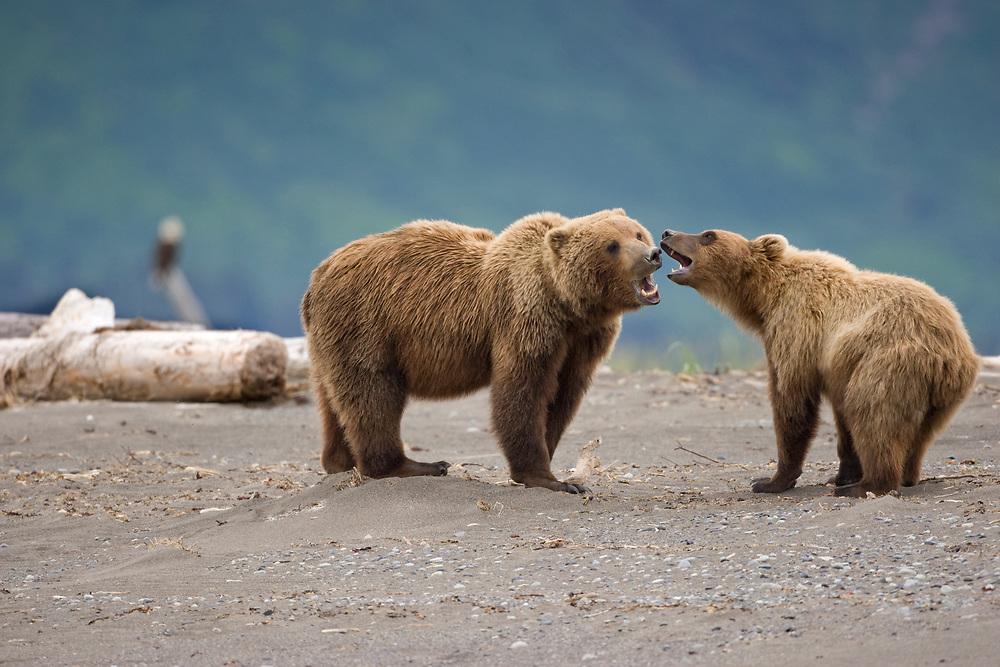 USA, Alaska, Katmai National Park, Brown Bears (Ursus arctos) playing on tidal flats along Hallo Bay