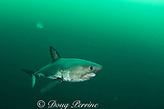 salmon shark, Lamna ditropis, female with mating scars on flank and copepod parasites trailing from fins, Port Fidalgo, Prince William Sound, Alaska, U.S.A.; this apex predator, sometimes called the Pacific porbeagle, is a mackerel shark in the order Lamniformes; it swims in cold water, but is warm-blooded ( homeothermic )