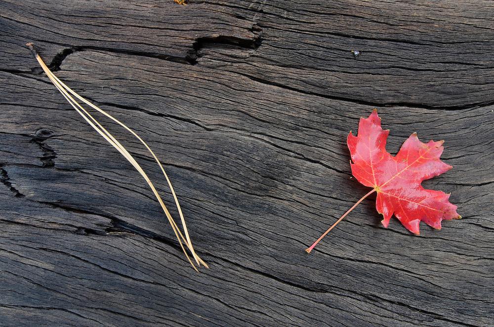Maple leaf and pine needle on log, Southern Utah.