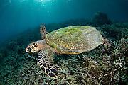 Hawksbill Sea Turtle (Eretmochelys imbricata) in Komodo Island, Indonesia.