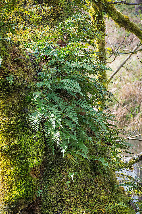 A common fern found growing on trees and mossy rocks in the Pacific Northwest, the licorice fern is also one of the many unrelated plants around the world that contain the chemical glycyrrhizin, which gives it the taste of licorice. Historically the roots were chewed on by Native American tribe members as a hunger suppressant, particularly by hunters or those travelling across the land.