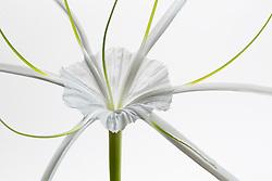 Hymenocallis-Beach Spider Lily#7