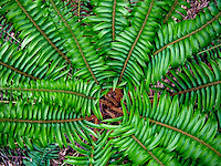 Western Sword Fern (Polystichum munitum) spreading fronds radiating from the center (view from above)