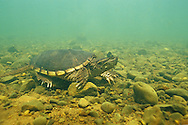 Common Snapping Turtle<br /> <br /> ENGBRETSON UNDERWATER PHOTO
