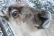 Young reindeer