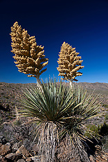 Mojave yucca plant (Yucca schidigera)