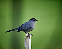 Gray Catbird. Image taken with a Nikon D5 camera and 600 mm f/4 VR lens (ISO 1600, 600 mm, f/4, 1/1000 sec).