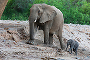 A small desert elephant calf (Loxodonta africana cyclotis) walking and staying close to its mother, Skeleton Coast, Namibia