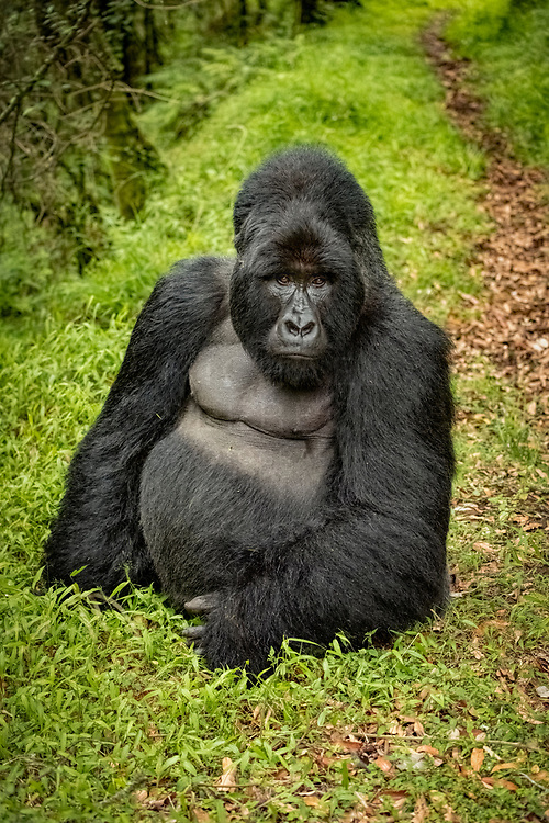 A large silverback gorilla near a pathway through the rainforest.<br /> <br /> Open Edition Print