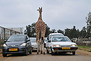 Reticulated Giraffe (Giraffa camelopardalis reticulata) works among the cars in an animal park