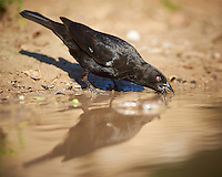 Bronzed Cowbird Drinking at Dos Vandas Ranch in Southern Texas. Image taken with a Nikon D800 camera and 400 mm f/2.8 VR lens (ISO 140, 400 mm, f/4, 1/800 sec).