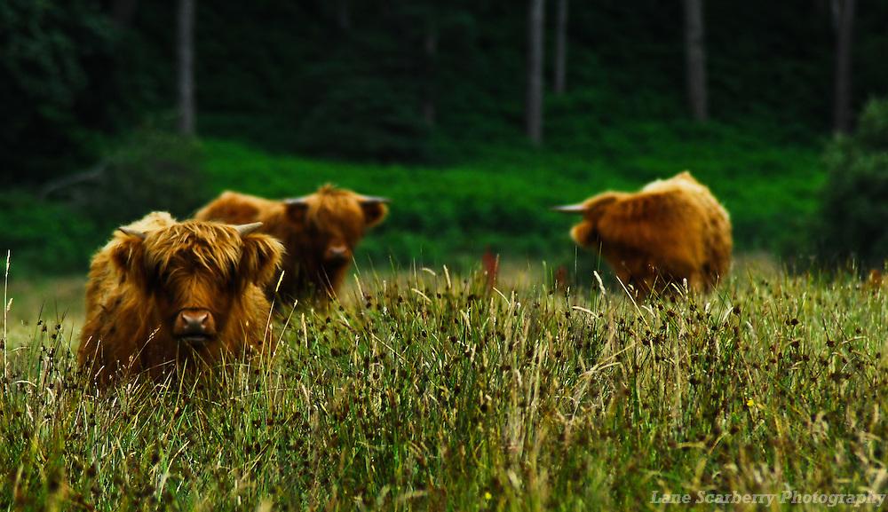 Highland Cows on the road between Oban and Edinburgh, Scotland.
