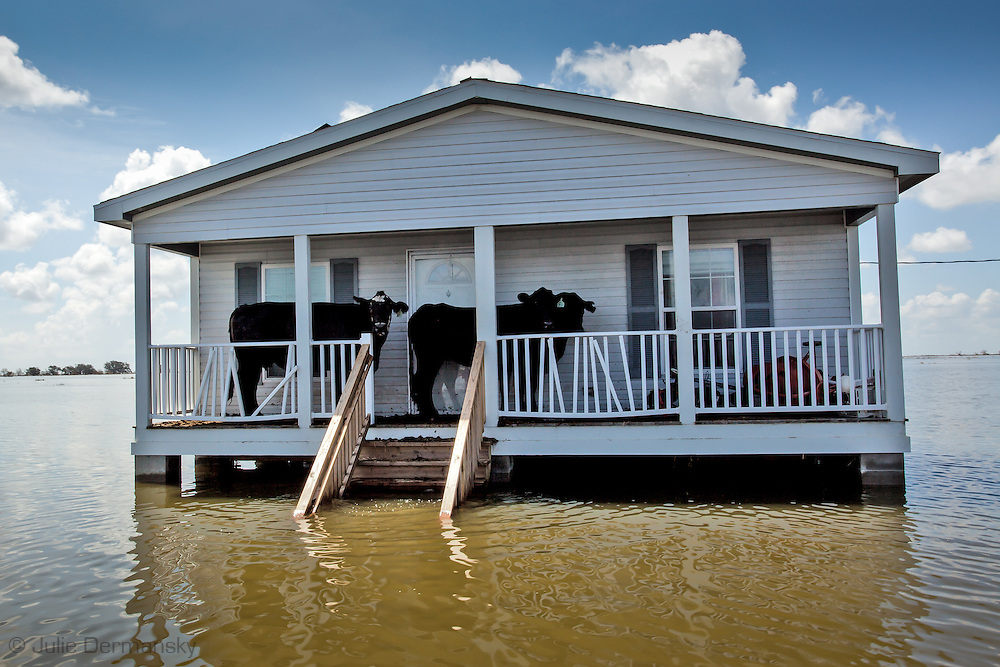 Cows stuck on the porch of a house in Plaquemines Parishafter after Hurricane Isaac.