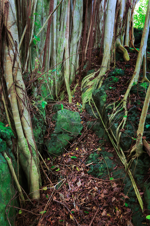 Banyan trees and roots along the Pipiwai trail in Maui's Haleakala national park