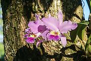 Wild Orchid (Warczewiczella discolor) Photographed in Viñales valley, Pinar del Río, Cuba