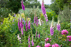 Self sown Digitalis purpurea (Foxgloves) with peony and Iris 'Belise'