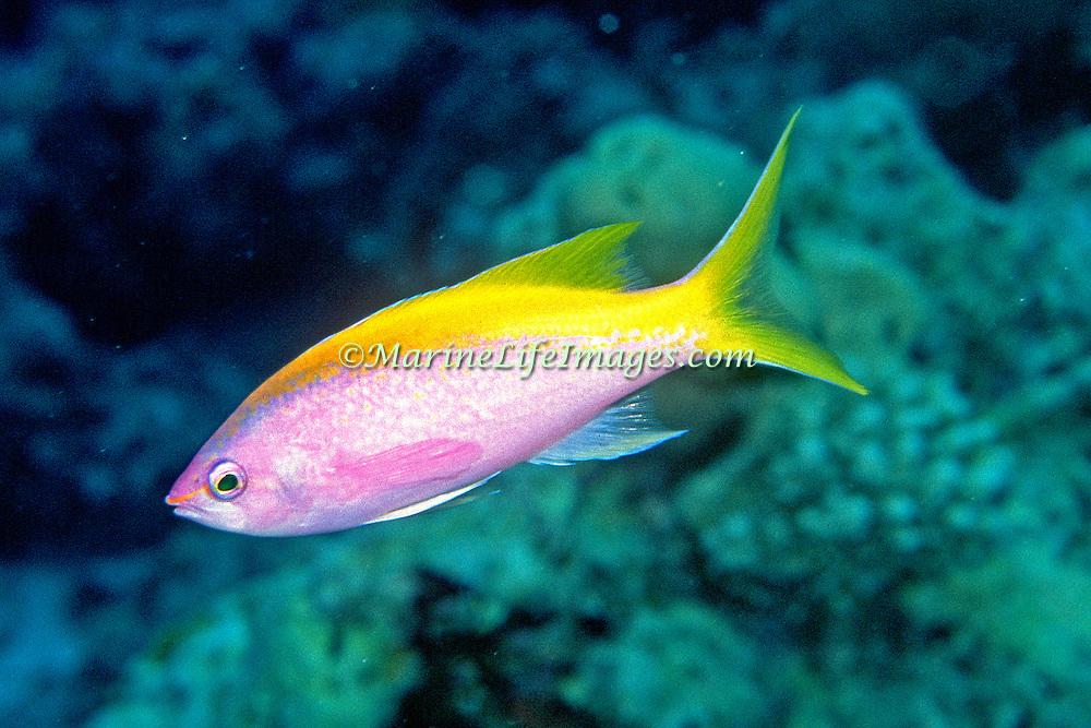 Yellowback Anthias inhabit reefs. Picture taken Raja Ampat, Indonesia.
